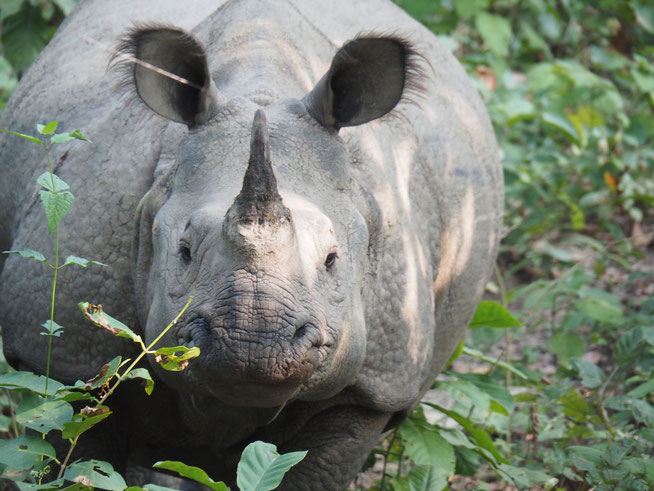 Nashorn in Chitwan