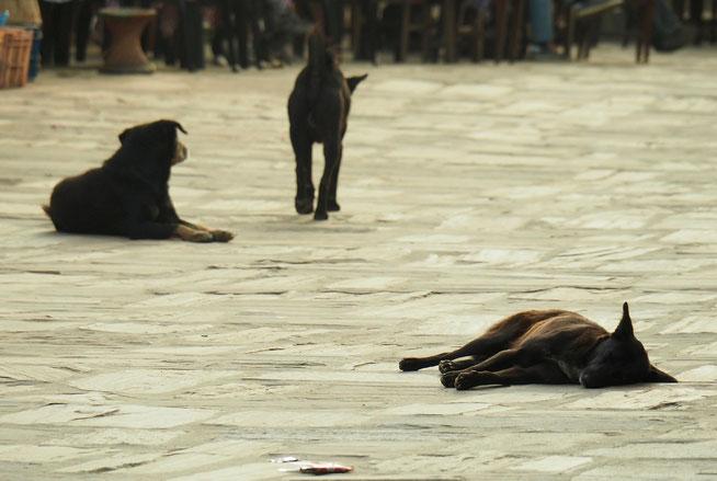Straßenhunde Nepal