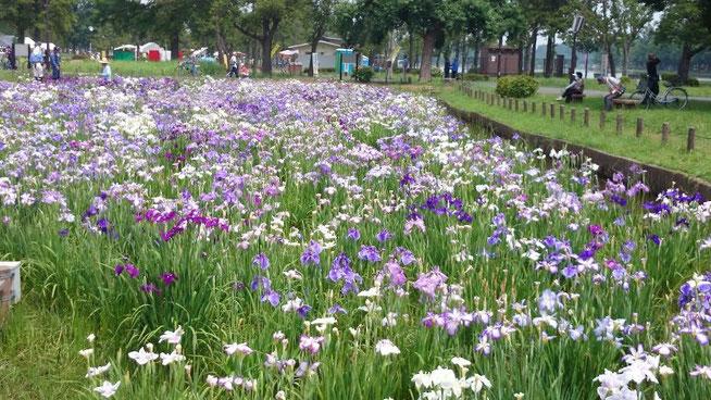 東京都水元公園 花菖蒲