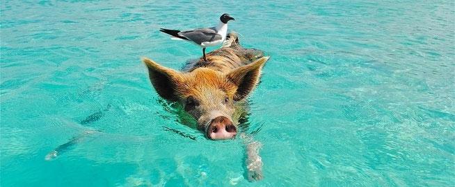 cochon dans la mer pour e-cime création de site internet