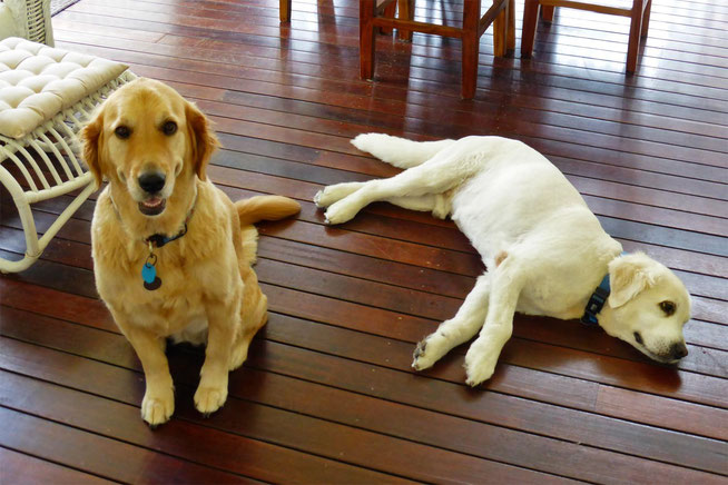 Max and Dolly, the golden retrievers