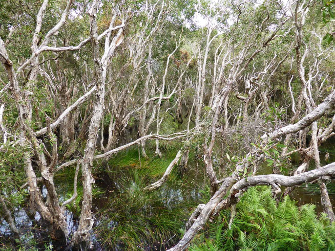 Paper-bark tea-tree swamp