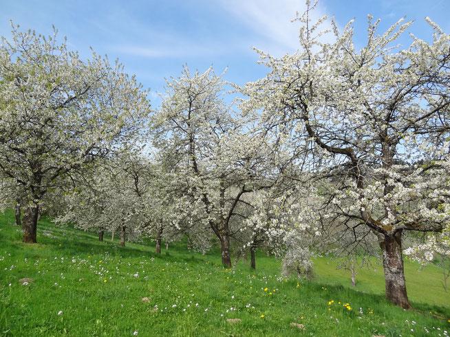 Kirschblüte Renchtal Hofgut Heuberg Weingut Schweiger Blütenbarometer Wanderung