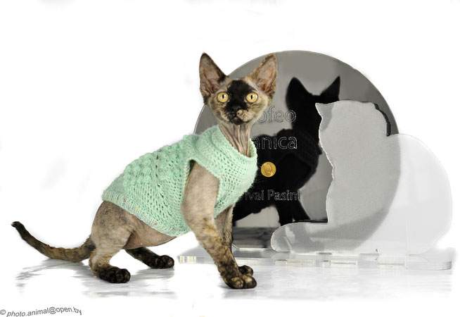 Nuadharex Miss Pralina, Trofeo Best Kitten Zanica (BG) febbraio 2014 - cappottini in lana su misura realizzati da Itala Rinoldi