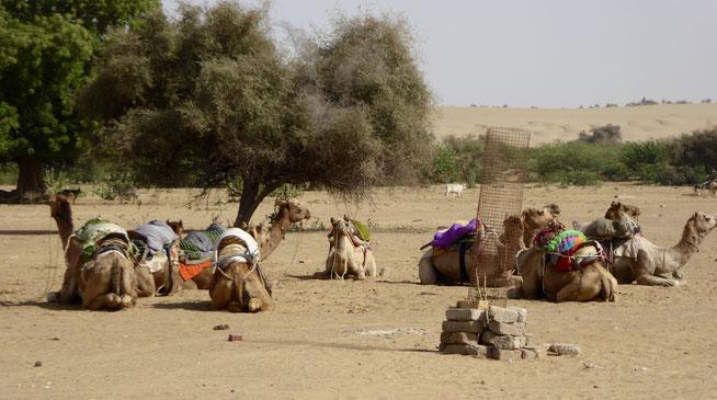 Bild: Kamele in der Wüste von Thar