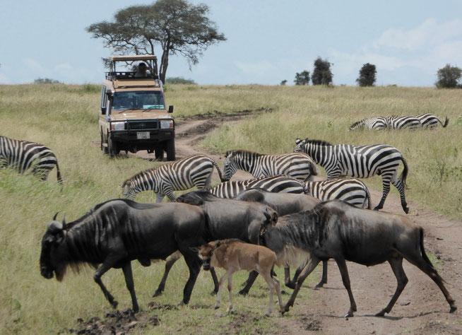 Bild: Tierwanderung der Gnus und Zebras in Serengeti Nationalpark in Tansania