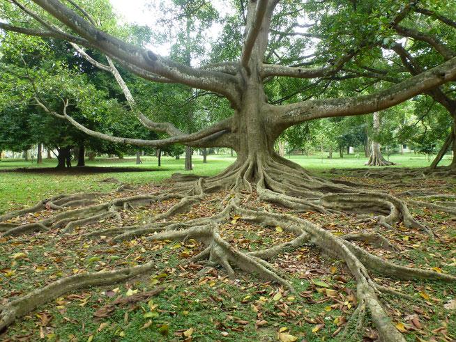 Bild: Botanical Garden bei Kandy