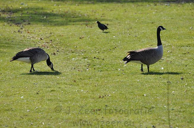 Nu de lente begonnen is steken ook steeds meer dieren hun kop op. Zo ook in het Beatrixpark waar deze Nijlganzen van het prille april zonnetje genieten. Terwijl verderop de eerste barbecues al flink staan te roken.