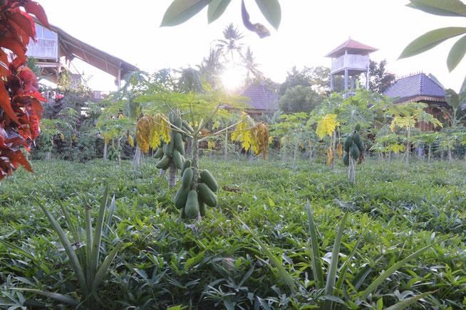 ビラ・マンディの敷地内にあるパパイヤ畑(写真)