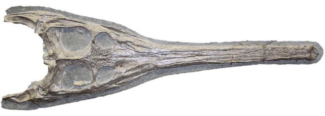 Steneosaurus bollensis skull