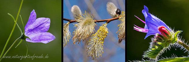 Glockenblume Campanula Weide Salix Natternkopf viper's bugloss willow bluebell bellflower Pollenspezialisten oligolektisch