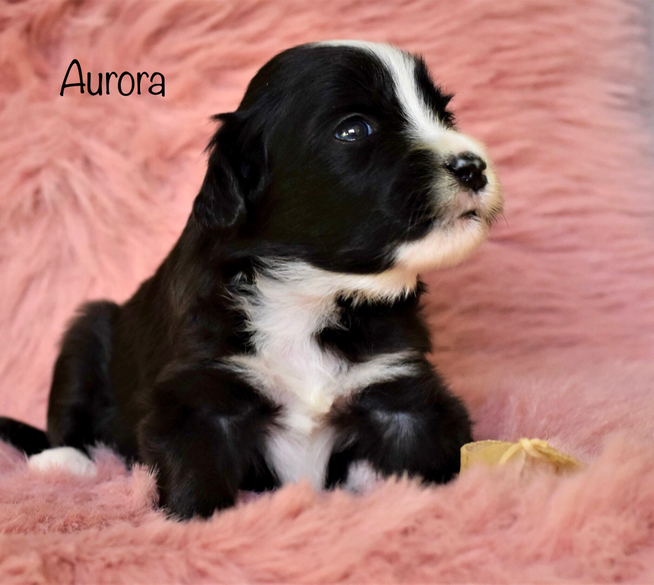 Bearded Collie Welpen, Sparkling Miracle Beardies Aurora