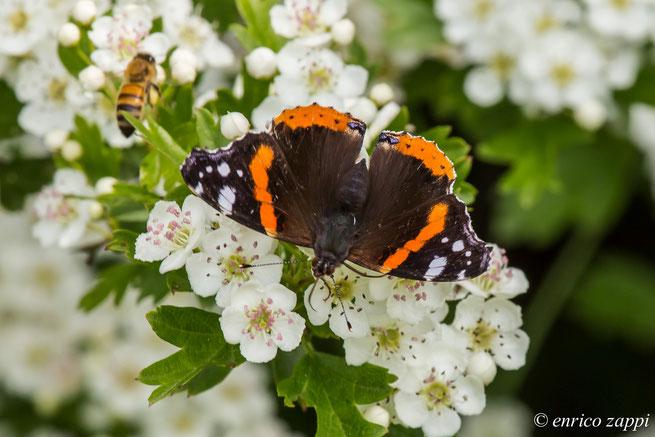 Vanessa Atalanta su fiori di biancospino