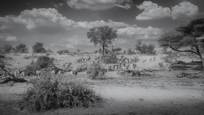 Zebras Makgadikgadi Nationalpark
