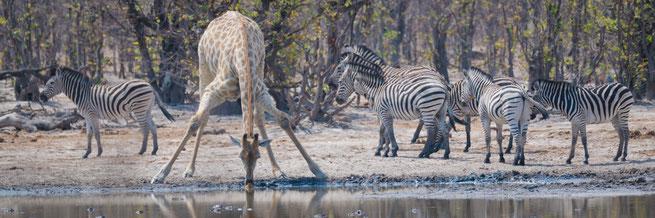 giraffe khwai private concession   botswana 2017