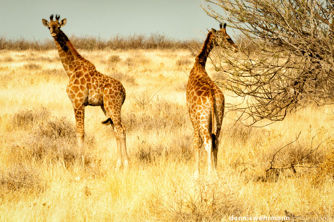 giraffe etosha nationalpark namibia