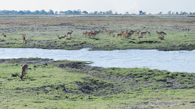 impala | chobe national park | kasane | botswana