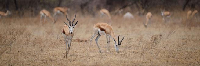 springbok nxai pan national park botswana
