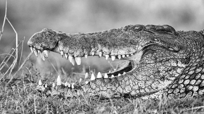 krokodil | sedudu island | chobe riverfront | kasane | botswana