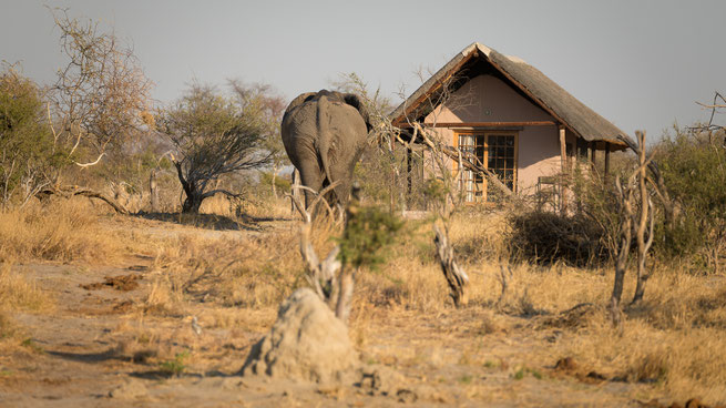 elefant vs chalet | elephant sands | botswana