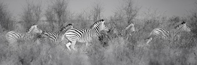zebras safari  wildlife central kalahari national park botswana