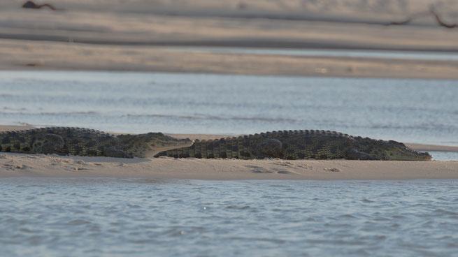 krokodile | sambesi | kalizo lodge | caprivi strip | namibia