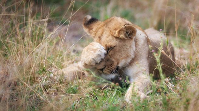 lion khwai private concession   botswana 2017