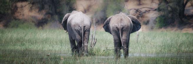 Elefanten im Boteti Fluss im Makgadikgadi Nationalpark