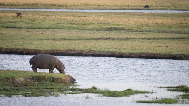 hippo | chobe national park | kasane | botswana