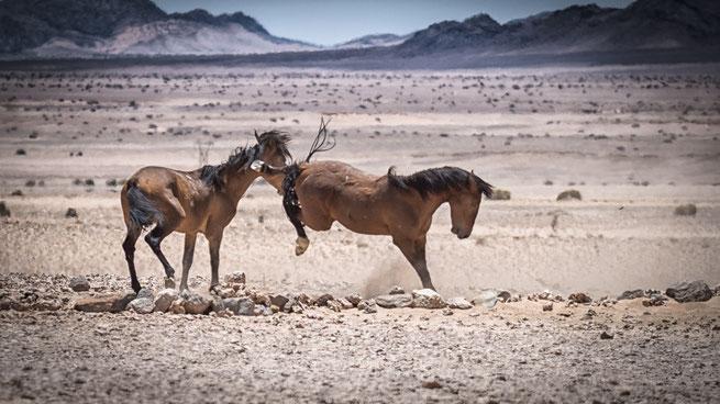 namib pferde | garub | namib wüste | namibia