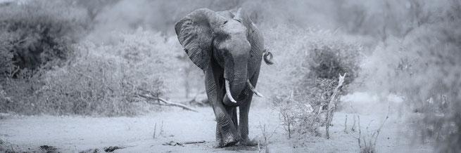 Elephant Makgadikgadi Nationalpark