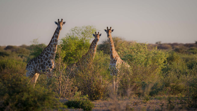 giraffes safari  wildlife central kalahari national park botswana