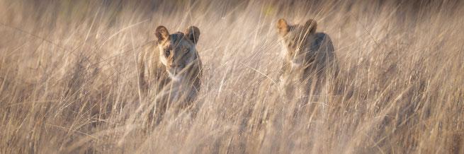 Löwen Central Kalahari Botswana