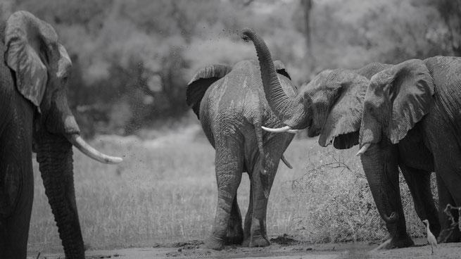 Elephants Boteti river Makgadikgadi Nationalpark