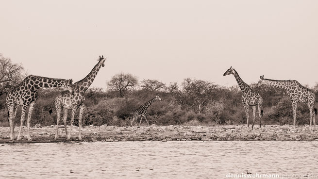 giraffen etosha nationalpark namibia