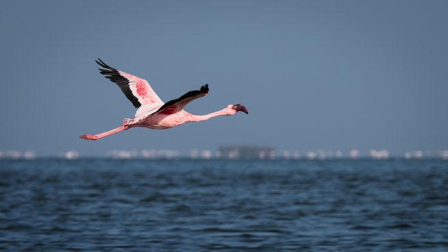 flamingo namib wüste namibia