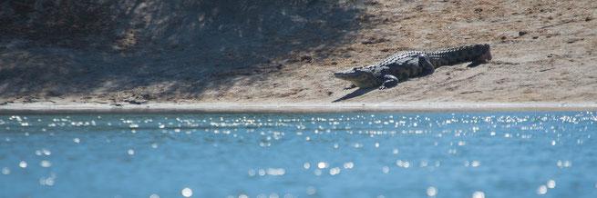 krokodil | mokoro fahrt kavango | ngepi camp | caprivi strip | namibia