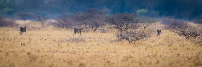 cheetah nxai pan national park botswana