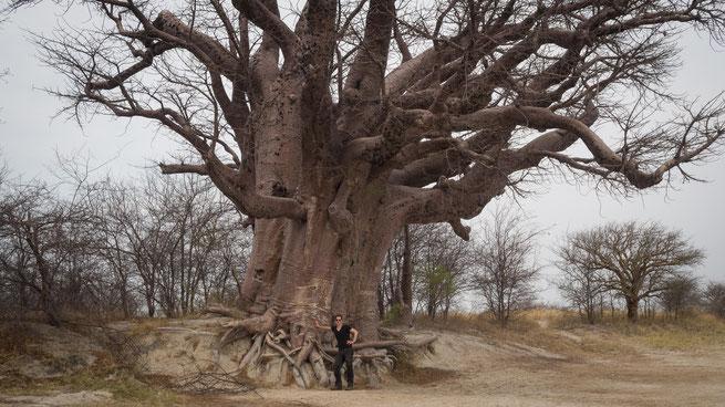 baines baobabs nxai pan national park botswana