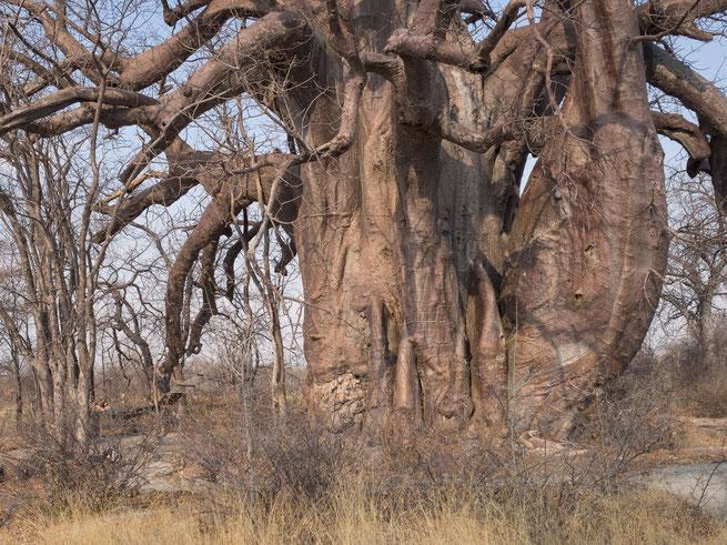 baobab und ich - finde mich | planet baobab | magkadigadi pans | botswana