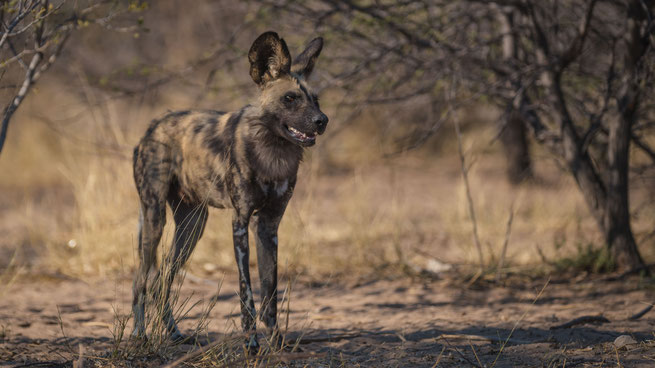 wilddog safari  wildlife central kalahari national park botswana