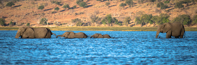 elefanten | sedudu island | chobe riverfront | kasane | botswana
