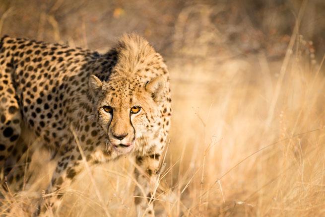 cheetah | Aloegrove Safari Lodge | namibia