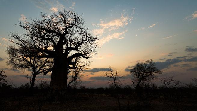sonnenuntergang | planet baobab | magkadigadi pans | botswana