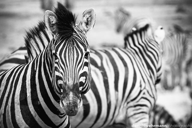 zebra etosha nationalpark namibia