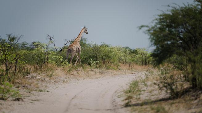 Giraffe im Makgadikgadi Nationalpark
