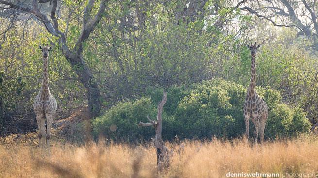 bushwalk  chiefs island okavango delta botswana