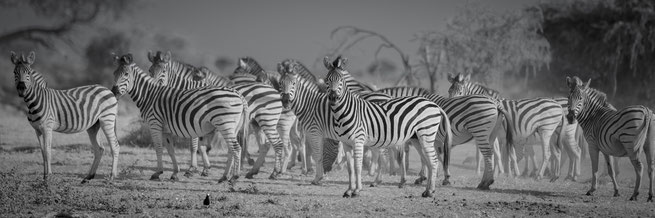Zebras im Makgadikgadi Nationalpark