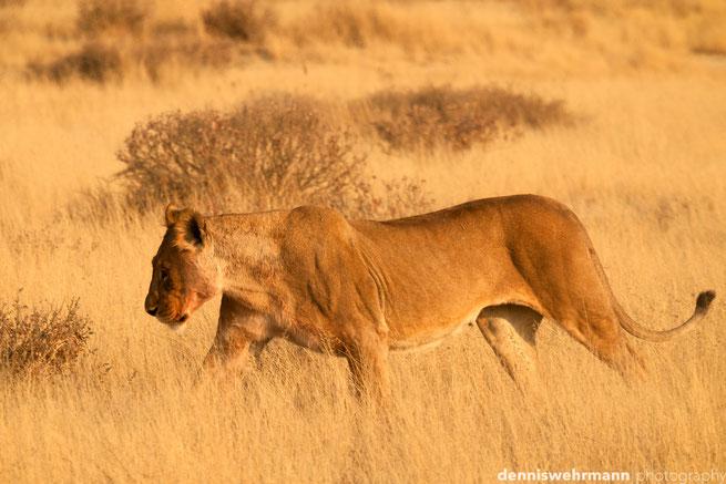 löwe etosha nationalpark namibia