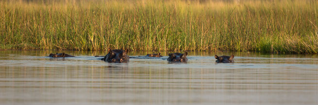 hippo nilpferd gunns camp | okavango delta | botswana
